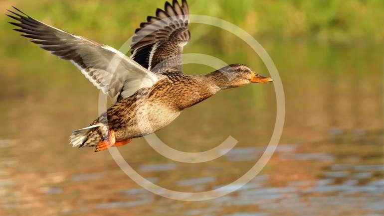 Waterfowl Hunting Season Announced!